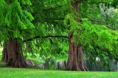 黎明红木树 免版税图库摄影