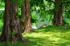 黎明红木树 免版税库存照片