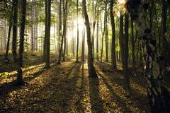 黎明通过秋天森林 库存照片