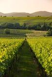 黄昏光的, Pfalz,德国葡萄园 免版税图库摄影
