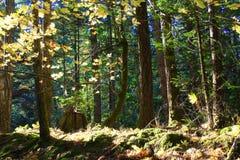 黄昏太阳在森林里 库存图片
