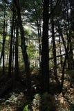 黄昏的森林 免版税库存图片