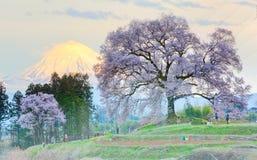 黄昏视图巨人在山坡的Wanitsuka佐仓(一棵300年樱桃树)与后面的积雪覆盖的富士山 免版税库存照片