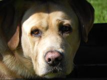 易上镜头的拉布拉多猎犬 利耶帕亚,拉脱维亚 免版税库存照片