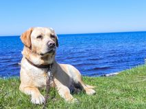 易上镜头的拉布拉多猎犬 利耶帕亚,拉脱维亚 库存图片