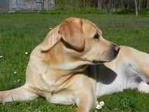 易上镜头的拉布拉多猎犬 利耶帕亚,拉脱维亚 免版税库存图片