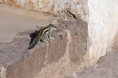 易变的灰鼠或Finlayson ` s灰鼠或Callosciurus finlaysonii在埃洛拉石窟在Aurangabad,印度 在缅甸的居住 免版税库存照片