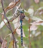 易变的更加织补的蜻蜓 免版税库存照片