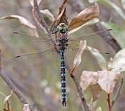 易变的更加织补的蜻蜓 库存照片