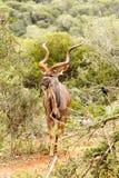 轻易地胜过鸟的Kudu 图库摄影