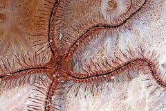 易碎的ophiothrix海绵星形suensonti 库存图片
