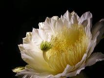 昙花, Epiphyllum oxypetalum, dama de noche 免版税库存图片