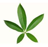 星在白色背景隔绝的形状叶子 免版税库存照片