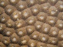 星形珊瑚- Diploastera heliopora 库存照片