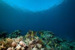 星形的河豚和热带水下的寿命。 库存照片