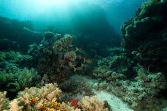 星形的河豚和热带水下的寿命。 库存图片