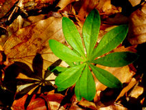 星形绿色植物和未击中 图库摄影