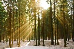 星期日的光芒在冬天杉木的 库存照片