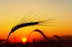 星期日麦子 库存照片