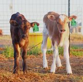 星期的牛奶店小牛 库存图片