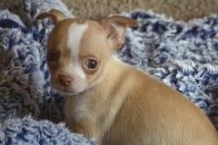 8星期的男性奇瓦瓦狗小狗灰色背景蓝色毯子 库存照片
