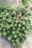 星植物 库存图片