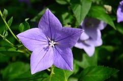 星状开放紫色蓝色桔梗花 免版税库存图片