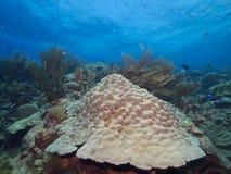 星珊瑚 库存照片