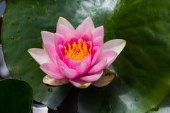 星莲属花桃红色开花有黑暗的背景 库存图片