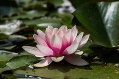 星莲属花桃红色开花有黑暗的背景 免版税库存图片