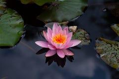 星莲属花桃红色开花有黑暗的背景 免版税库存照片
