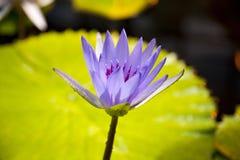 星莲属caerulea 免版税库存照片