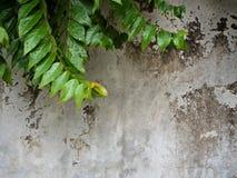 星鹅莓叶子在混凝土墙背景的 免版税库存照片
