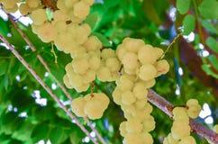 星鹅莓果子 Phyllanthus acidus,叫作Otaheite 库存照片