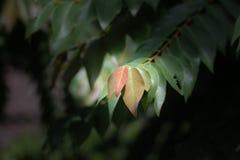 星鹅莓红色叶子  免版税库存照片