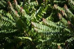 星鹅莓绿色和红色叶子  免版税库存照片