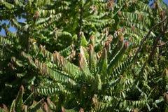 星鹅莓绿色和红色叶子  库存照片