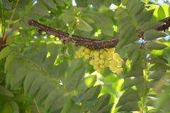 星鹅莓 库存图片