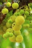星鹅莓 图库摄影