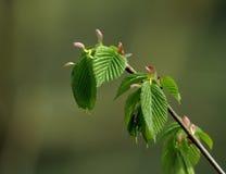 春天…上升了叶子,自然本底 库存图片