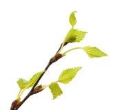 与绿色叶子的枝杈桦树 库存图片