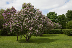 春天与开花的丁香的公园风景开花树 晴天静物画 库存照片