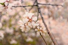 春天与很多copyspace的开花背景 与开花的苹果树的美好的自然场面 下雨 免版税库存图片