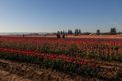 春天与摄影师的郁金香领域 免版税图库摄影