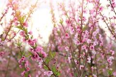 春天与桃红色美丽的花的开花树背景  选择聚焦 库存照片