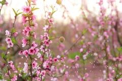 春天与桃红色美丽的花的开花树背景  选择聚焦 免版税库存照片