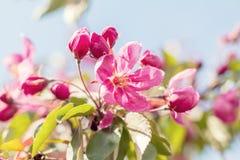 春天与桃红色苹果开花的背景艺术 免版税库存图片