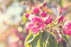春天与桃红色苹果开花的背景艺术 库存照片