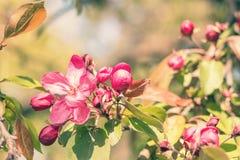 春天与桃红色苹果开花的背景艺术 图库摄影