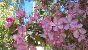 春天与桃红色苹果树开花的背景艺术 与开花的树的美好的自然场面和太阳飘动 背景蓝天 股票视频